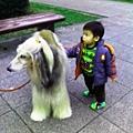 阿富汗犬 (7).jpg