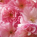 cherry-blossom-1260631_960_720.jpg