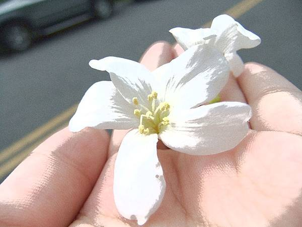 桐花 (Tung blossom)