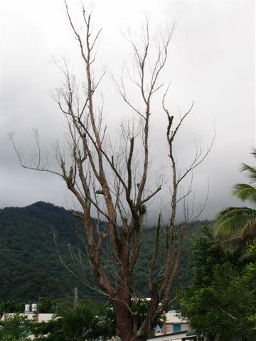關山國小前面的樹