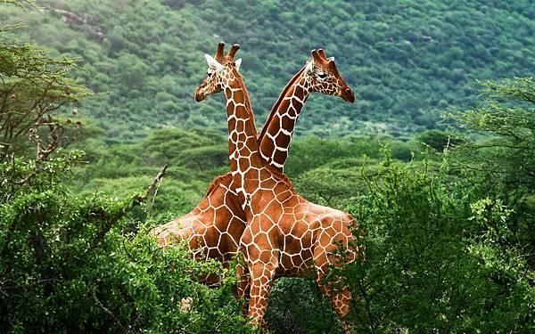 African-savanna-giraffes_1920x1200