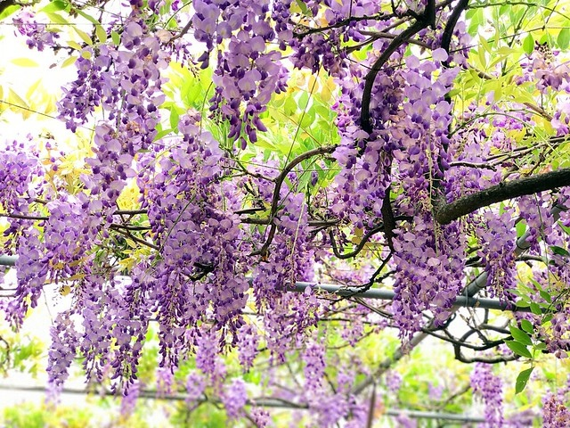 2027.04.15_淡水紫藤咖啡園二店