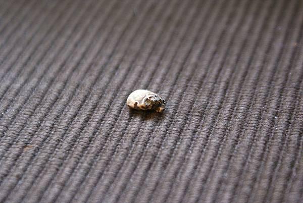 曼特寧 - 嚴重蟲咬豆