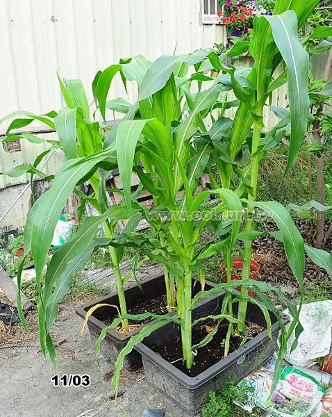 corn015