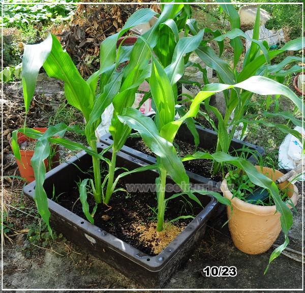 corn013