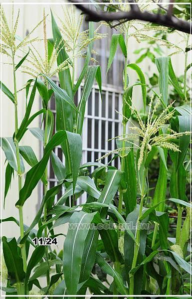 corn017