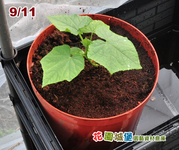 Cucumber04