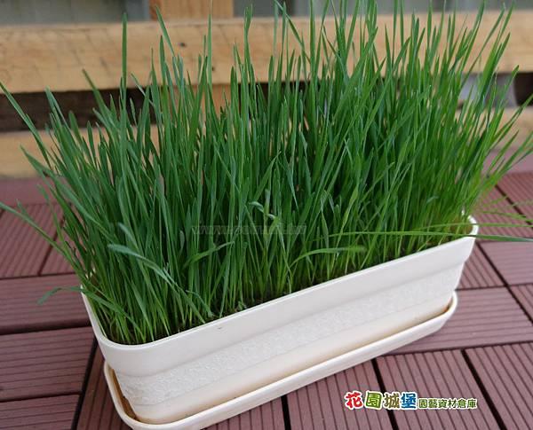 wheat06