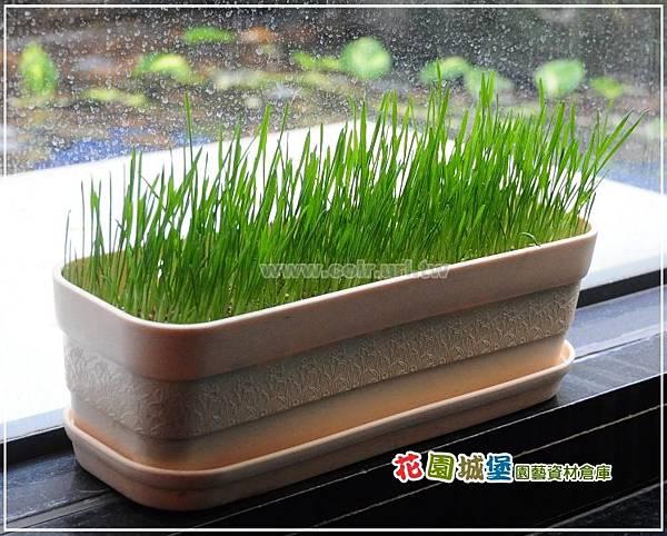 wheat07