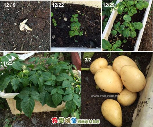 potato06