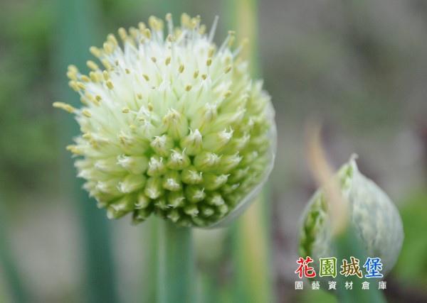 Onion-11