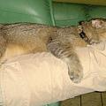 睡媽咪腿上2