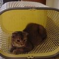 喜歡躲在洗衣籃的COLA