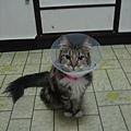 手術後帶著頸圈的安安