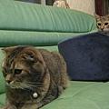 COLA:大意失貓床~恨!