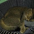 只有COLA會用枕頭睡覺