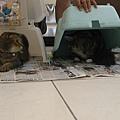 抓到貓兩隻