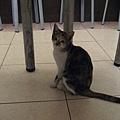 天母巷弄內小吃店的貓