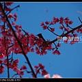 台中武陵》武陵農場櫻吹雪~美呆了!》smallclean_DSC_0103.jpg
