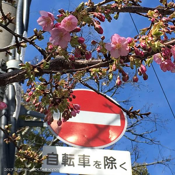 170227-戾橋河津櫻開花.JPG