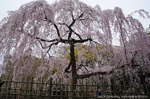 170405-京都御苑-4.JPG