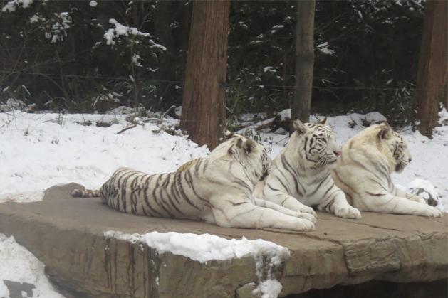 慵懶的白虎群