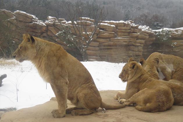 遙望遠方的獅子