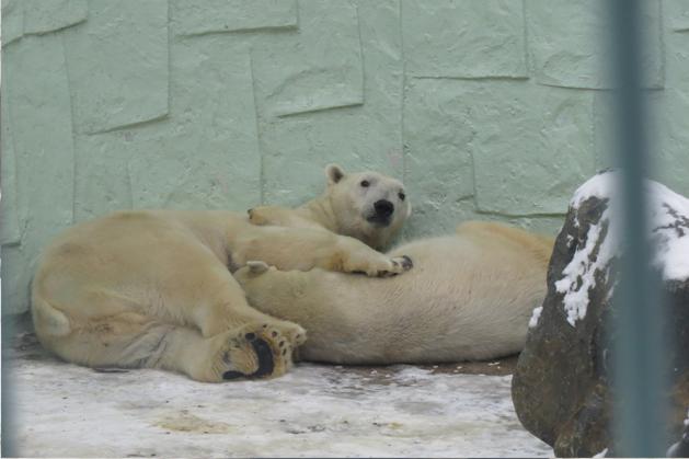 一直在睡覺的北極萌熊
