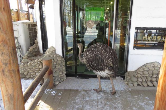 驚見野生鴕鳥想衝進商家?他可能是常客吧?
