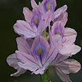 Water Hyacinth 鳳眼藍(布袋蓮)