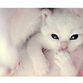 Hello__little_white_kitten__by_SubterfugeMalaises.jpg