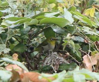 看到了嗎 ?綠繡眼、鳥巢、兩隻幼鳥