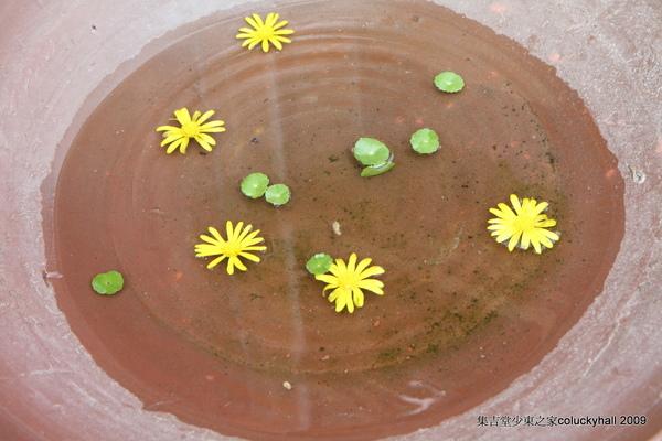 陶盆裡的小黃花