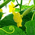 Growing-Cucumber-1267267