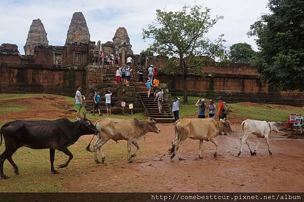 趕牛在古老的吳哥東梅蓬寺前,一群牛大搖大擺穿越,完全無視於周圍的人群與歷史建築。