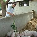 小豬餵食秀