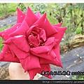 可食用的玫瑰花