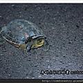 斑龜P02