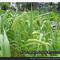 小米穗2P06