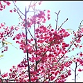 GF3-櫻花飄飄-015.jpg