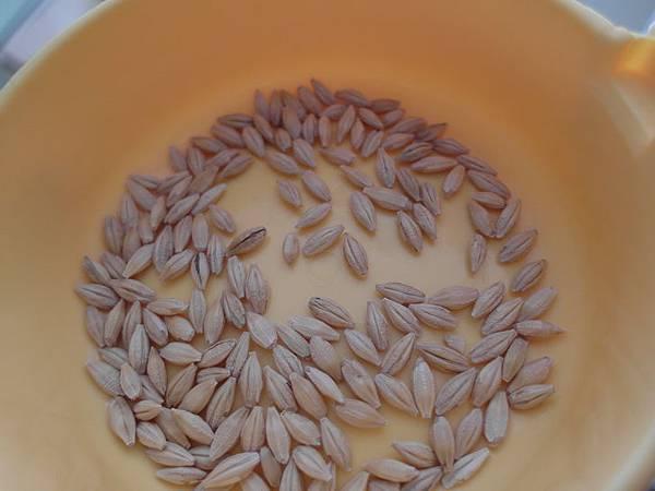 103.10.26大麥草種子