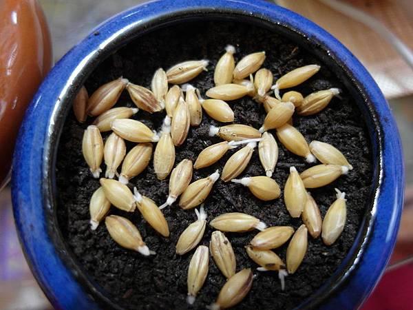 103.10.27大麥草種子2d-2