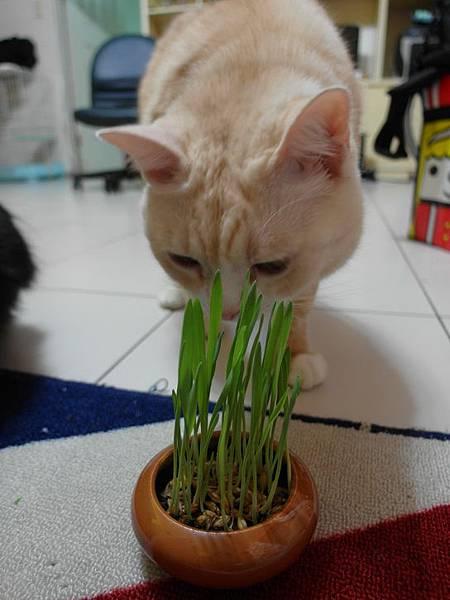 103.10.31大麥草種子6d