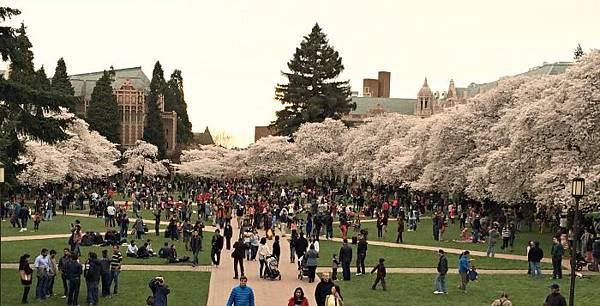 Cherry-Blossom-Viewing-at-University-of-Washington.jpg