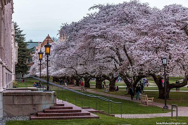 cherry-blossoms-university-of-washington-56.jpg