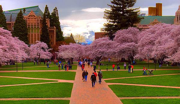 UW-cherry-blossoms.jpg