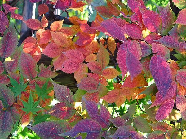 color leaves 20.JPG