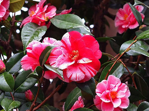 camellia 3