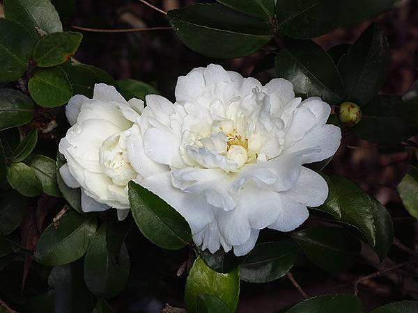 camellia 6