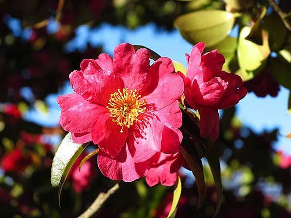 camellia 8